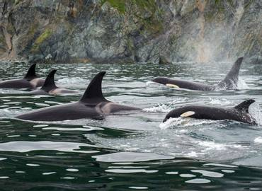 Orcas & Grizzlies of Canada's Pacific Northwest