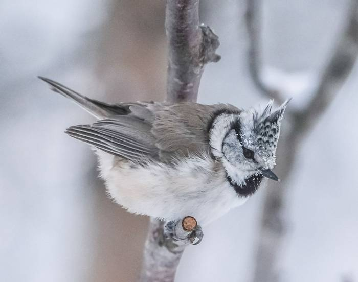 Crested Tit (Ann Miles)