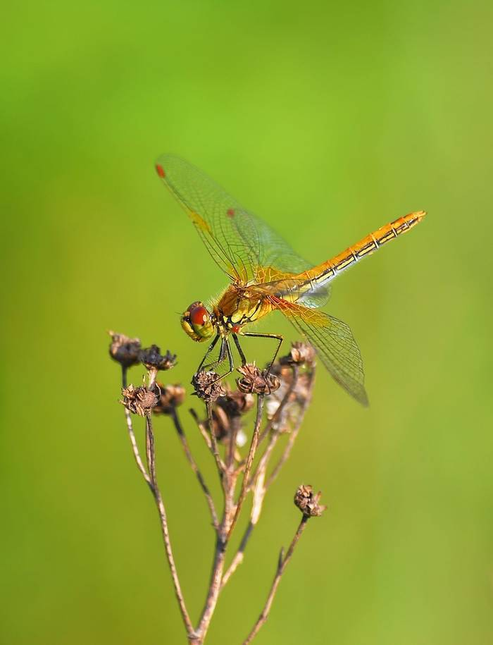 Yellow Winged Darter Dragonfly Shutterstock 376248172
