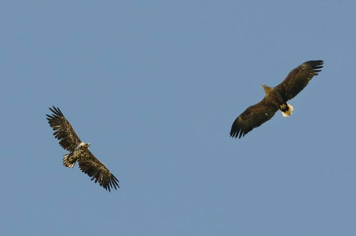 White-tailed Eagles (Tim Melling)