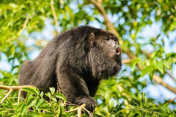 Black Howler Monkey shutterstock_154165652.jpg
