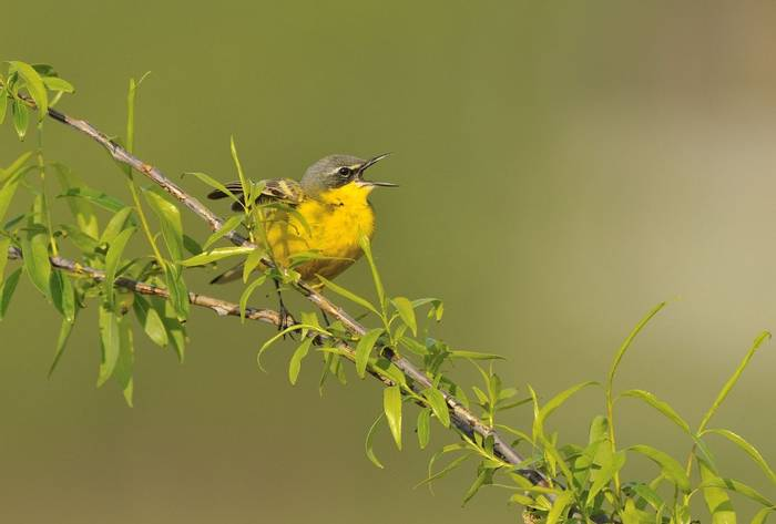 Yellow wagtail (baz scampion)
