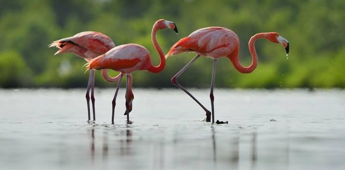 American Flamingo Shutterstock 170513555