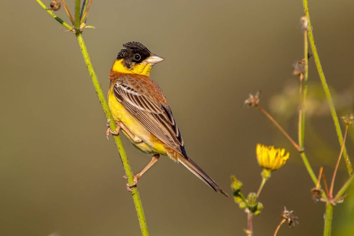 Black Headed Bunting Shutterstock 274713566