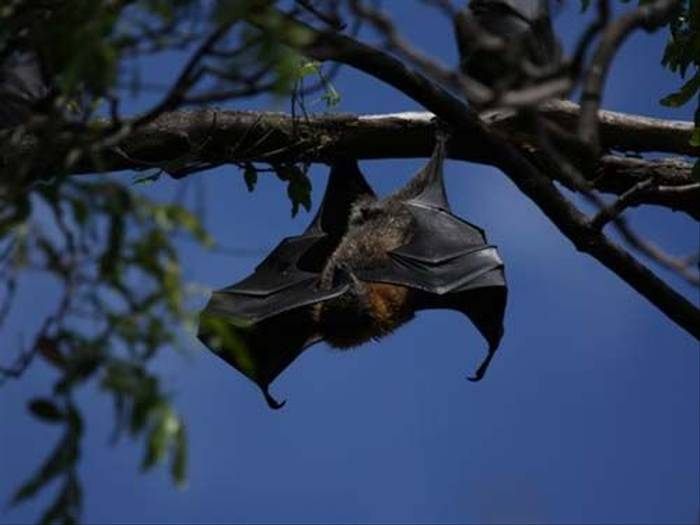 Fruit Bat (Susan Jenkins)