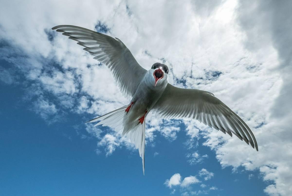 Artic Tern (Susan Dillon) (2).jpg