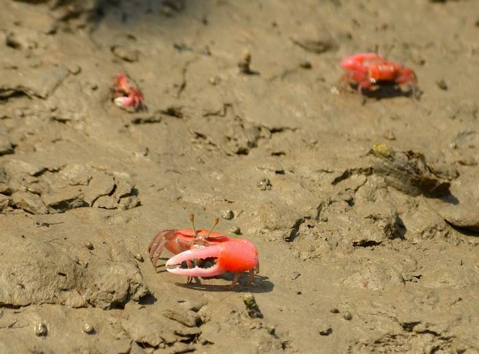 Red Fiddling Crab (Pradeep Singh, Sunderban Extension)