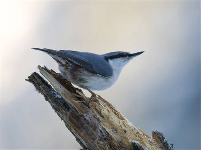Nuthatch (Torbjorn Arvidsson)
