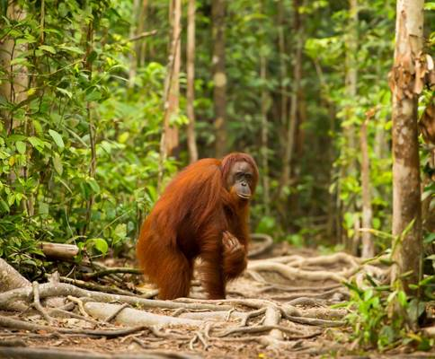 Orang Utan Borneo Shutterstock 294584234