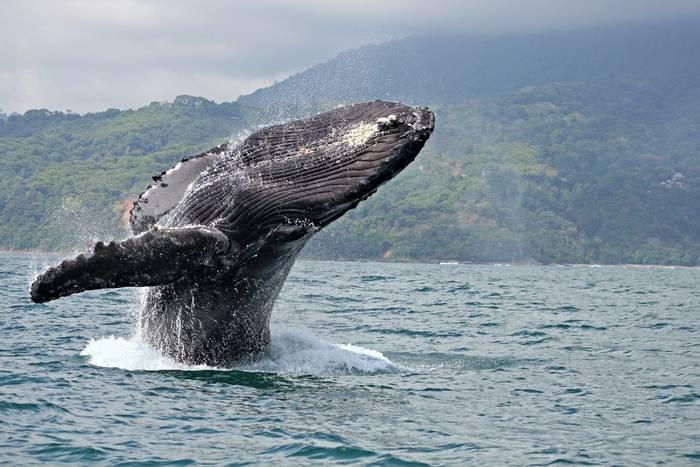 Humpback Whale Costa Rica shutterstock_78852880.jpg