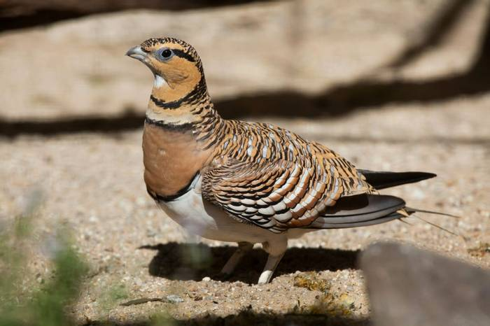 Pin-tailed Sandgrouse shutterstock_424090114.jpg