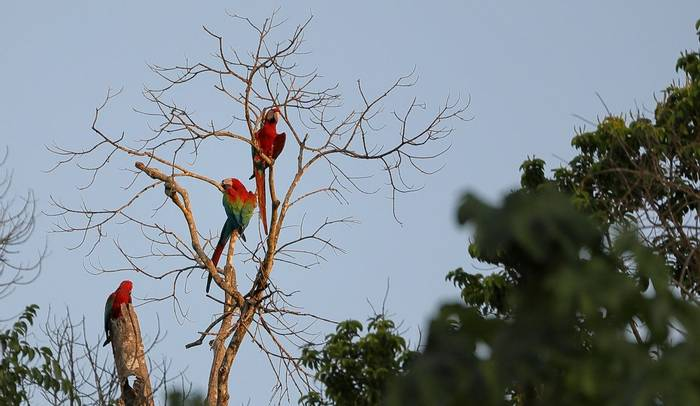 Red and Green Macaws (Peter Stott)