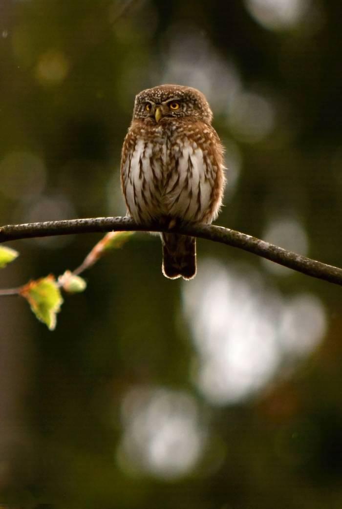 Pygmy Owl, Martin Hrouzek