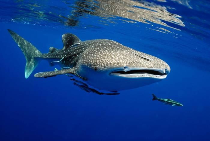 Whale Shark shutterstock_663859063.jpg