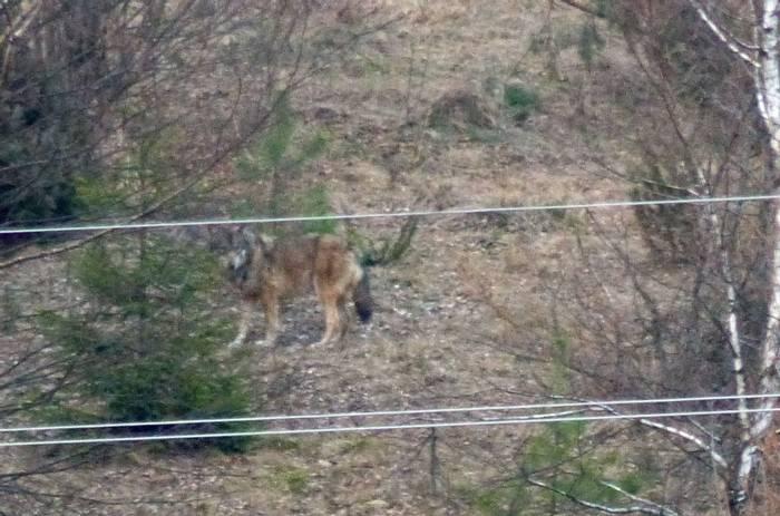 Wolf (Tom Mabbett)