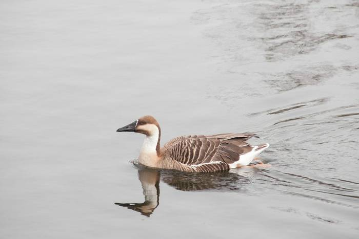 Swan Goose shutterstock_627591668.jpg