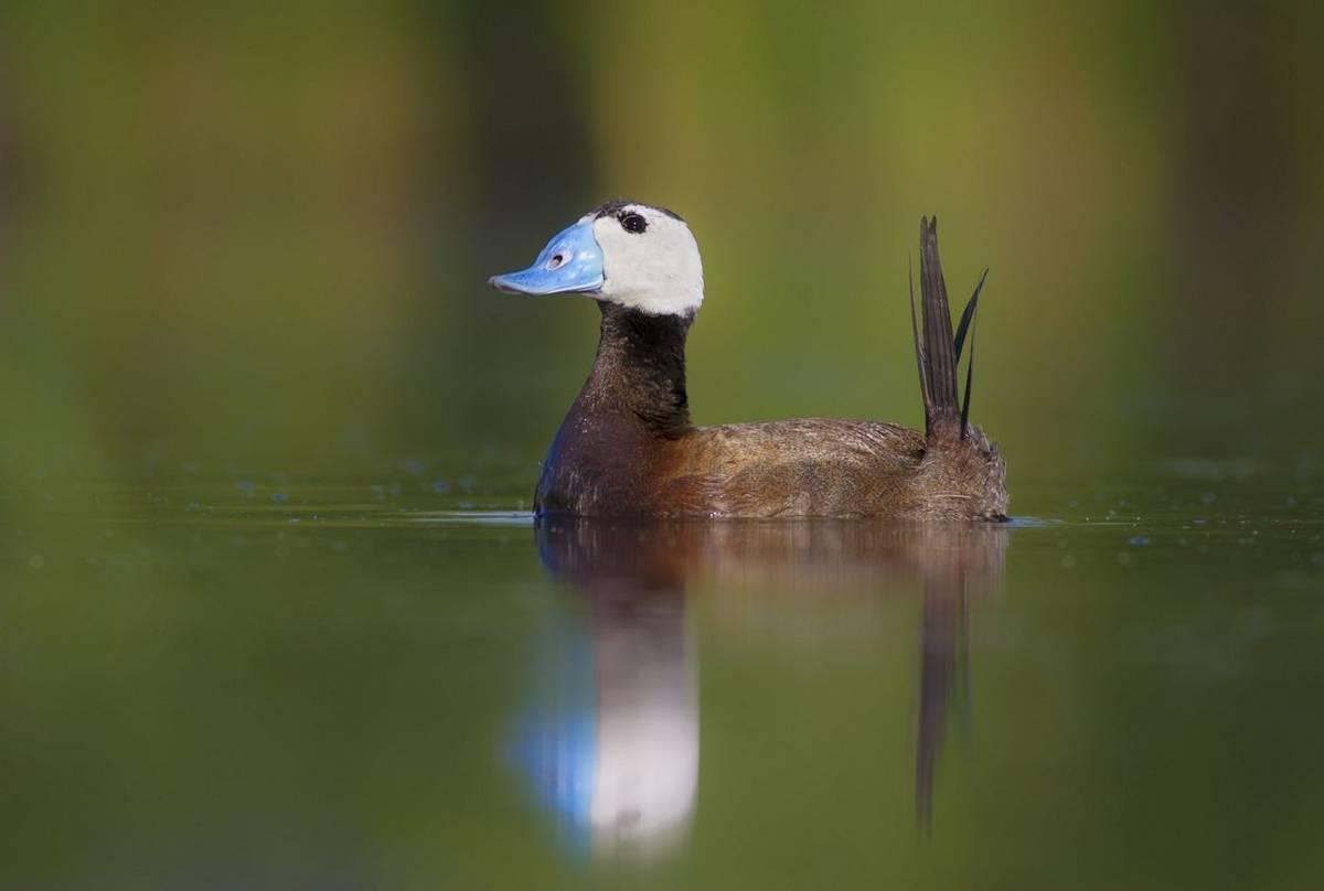 White Headed Duck Shutterstock 352668173