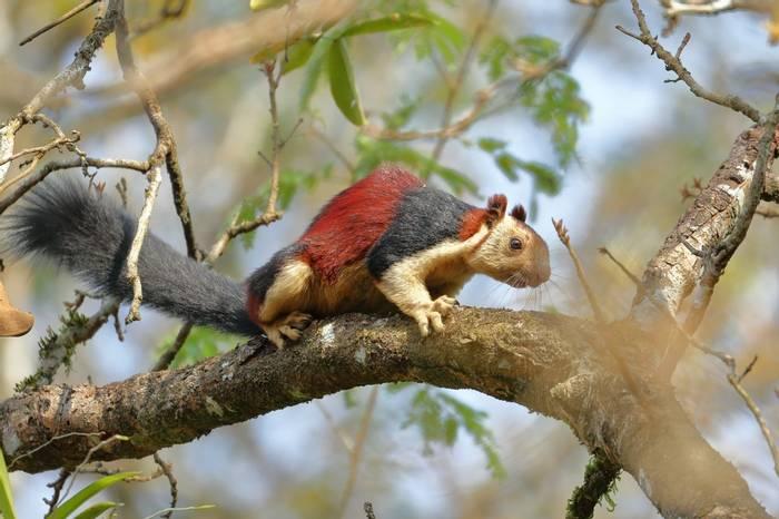 Malabar Giant Squirrel, India Shutterstock 592053845