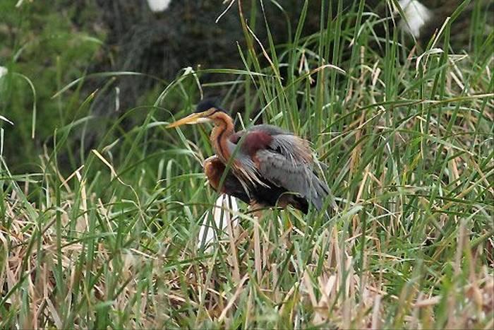 Purple Heron (Peter Dunn)