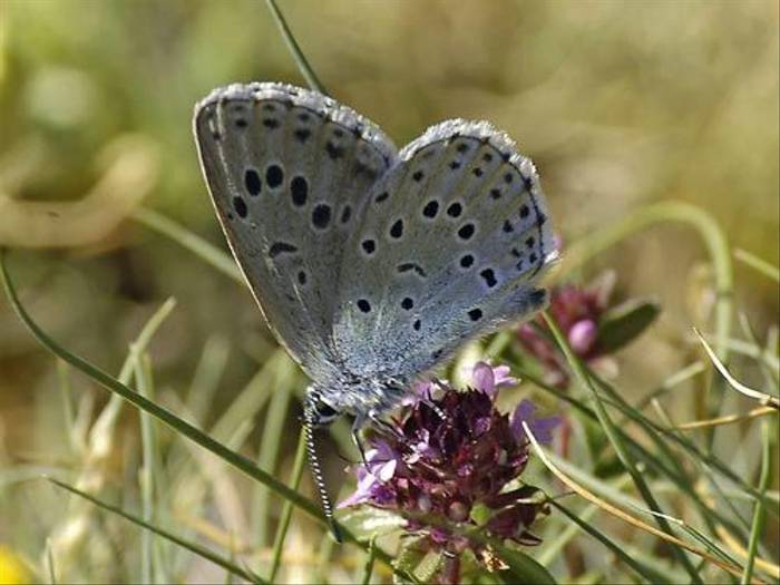 Large Blue (Matt Hobbs)