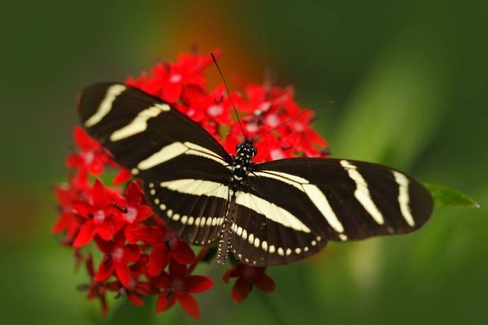 Zebra Longwing, Costa Rica shutterstock_594794000.jpg