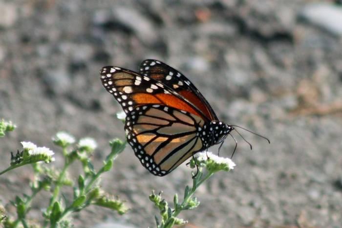 Monarch © Tom Mabbett