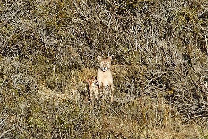Puma and cub (Ian Bruce)