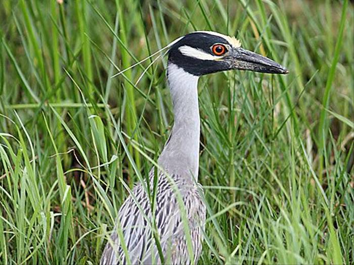 Yellow-crowned Night Heron (Peter Dunn)
