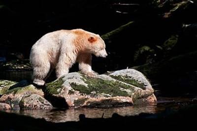 Spirit Bear by Paul Marshall