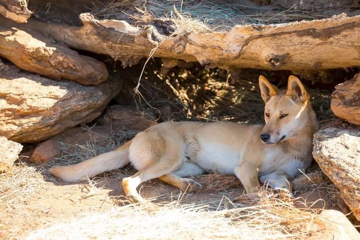Dingo, Alice Springs, Northern Territory Australia shutterstock_300299942.jpg