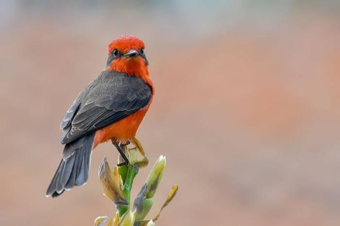 Vermilion Flycatcher by Ferney Salgado