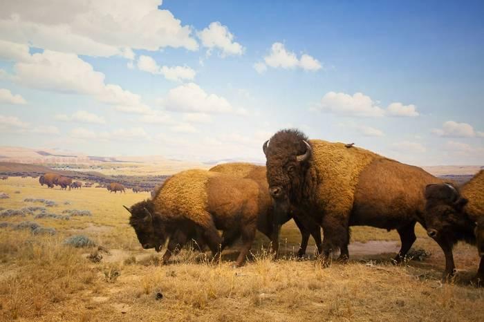 American Bison, USA Shutterstock 248203909