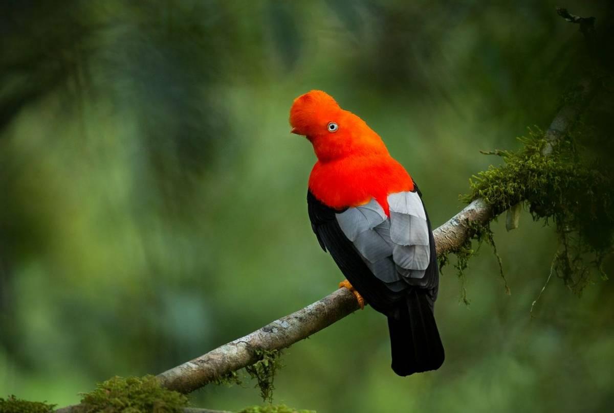 Cock Of The Rock, Peru Shutterstock 468912122