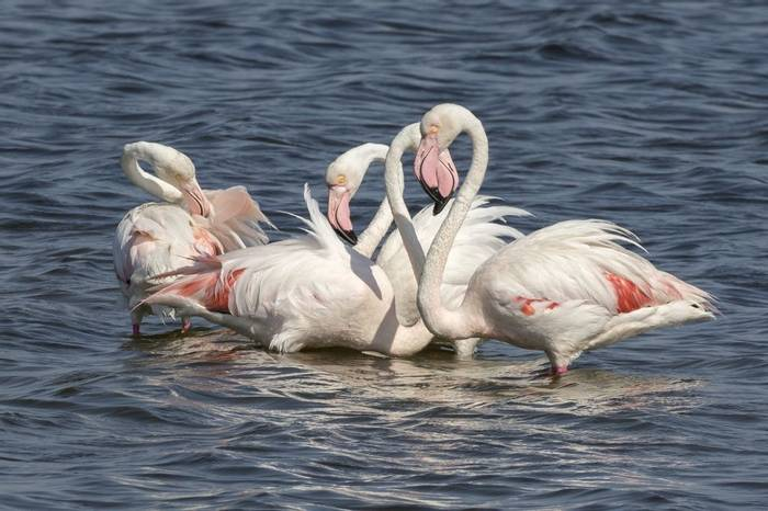 Greater Flamingos, Colin Brown