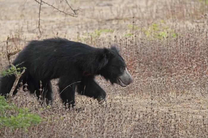 Sloth Bear (Ian Williamson)