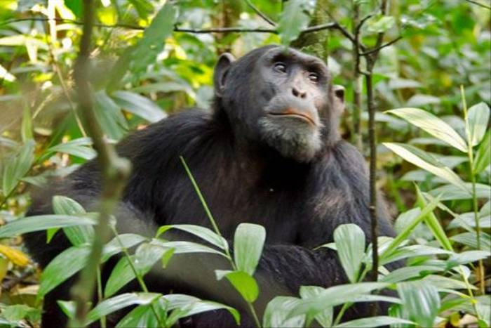 Chimpanzee, Kibale (Ian and Kate Bruce)