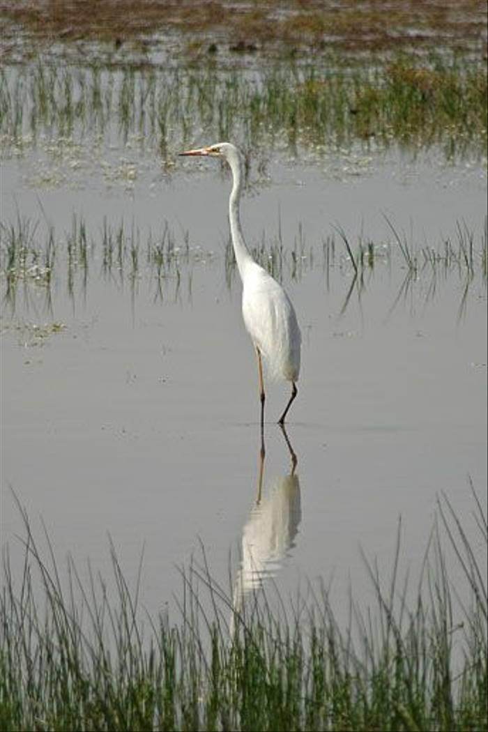 Great White Egret (David Morris)