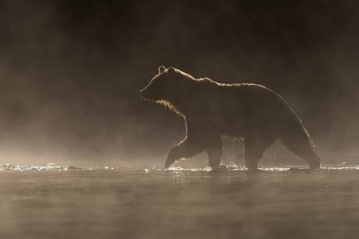 Grizzly Bear, Canada Shutterstock 731804599