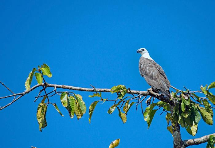 White-bellied Fish Eagle (Clive Turnbull)