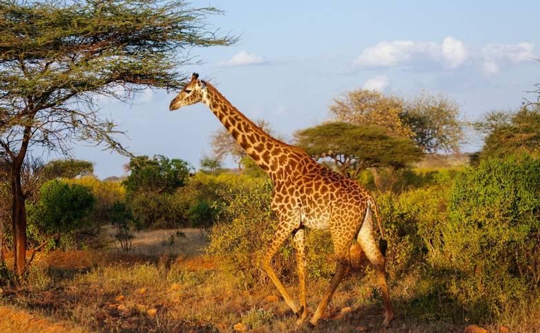 Giraffe in  East Tsavo Park in Kenya