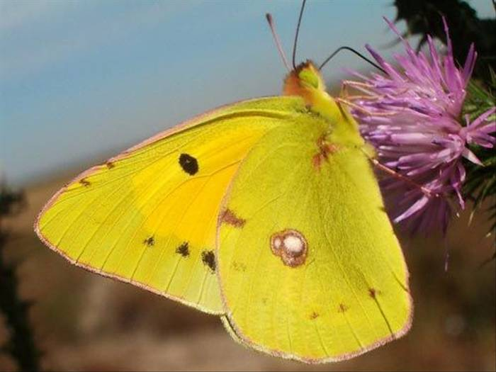 Clouded Yellow (Tom McJannet)