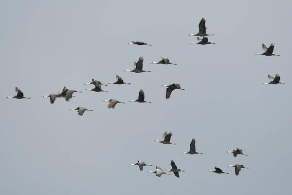 Hooded Cranes Kyushu