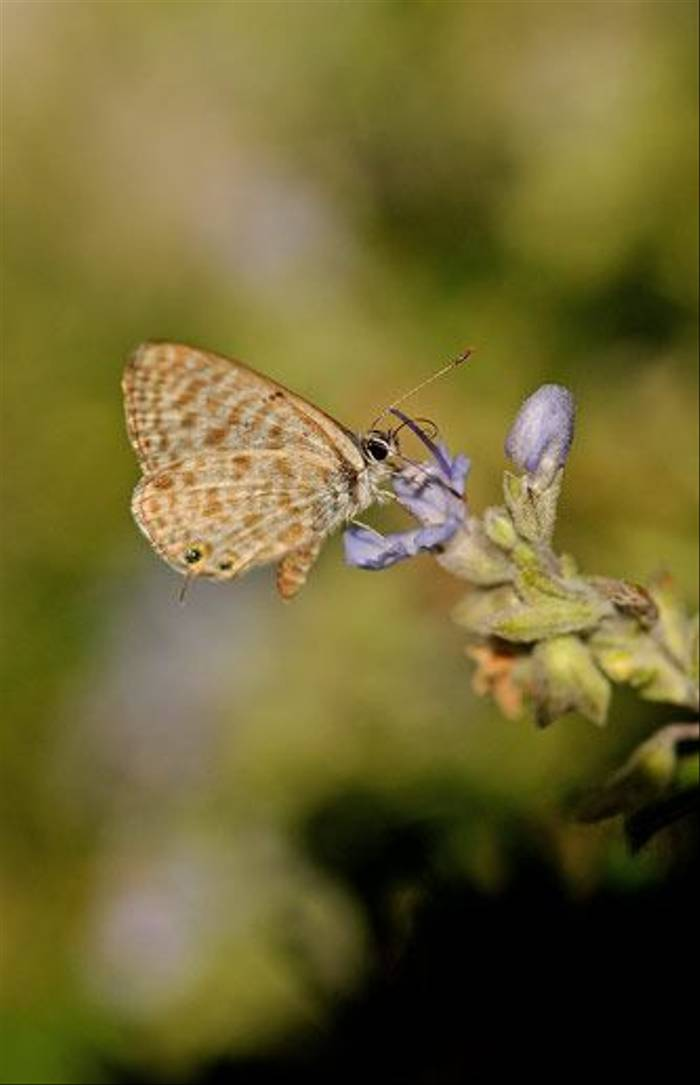Lang's Short-tailed Blue (David Morris)