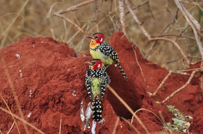 shutterstock_ red-and-yellow barbet-Tanzania.jpg