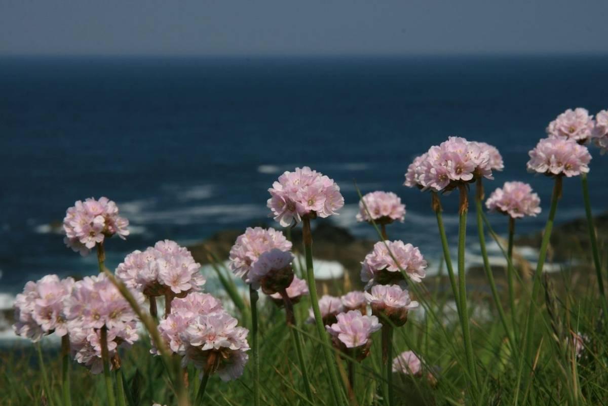 Sea_Pinks_Cornwall2.JPG