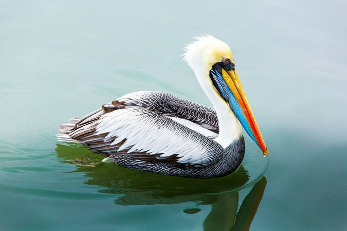 Brown Pelican, Ballestas Islands, Peru shutterstock_168633878.jpg