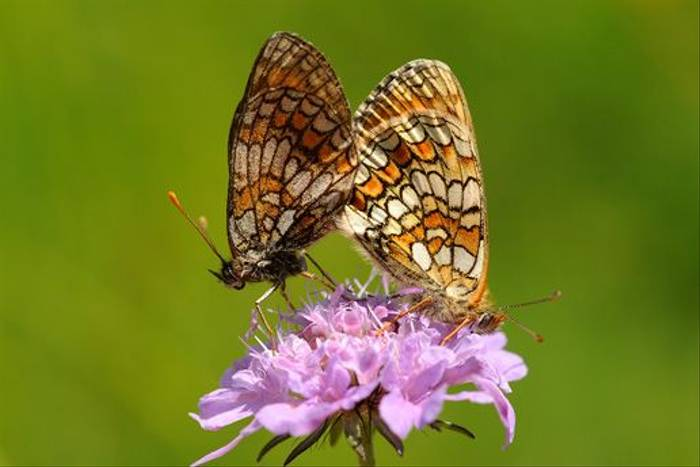 Heath Fritillaries