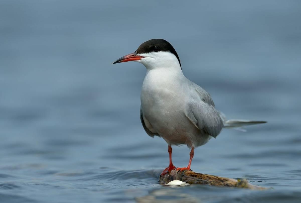 Common Tern shutterstock_103000895.jpg