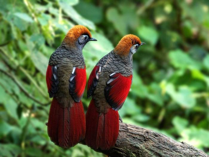 Red Tailed Laughing Thrush Shutterstock 492354373