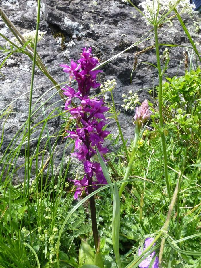 Dactylorhiza majalis (Broad-leaved Marsh Orchid) (Kerrie Porteous)
